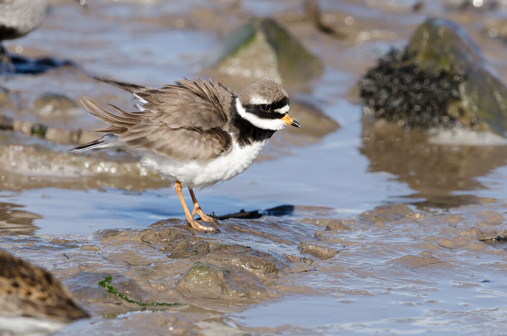Ringed Plover stretching.