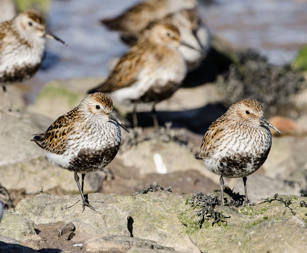 Group of Dunlin resting.