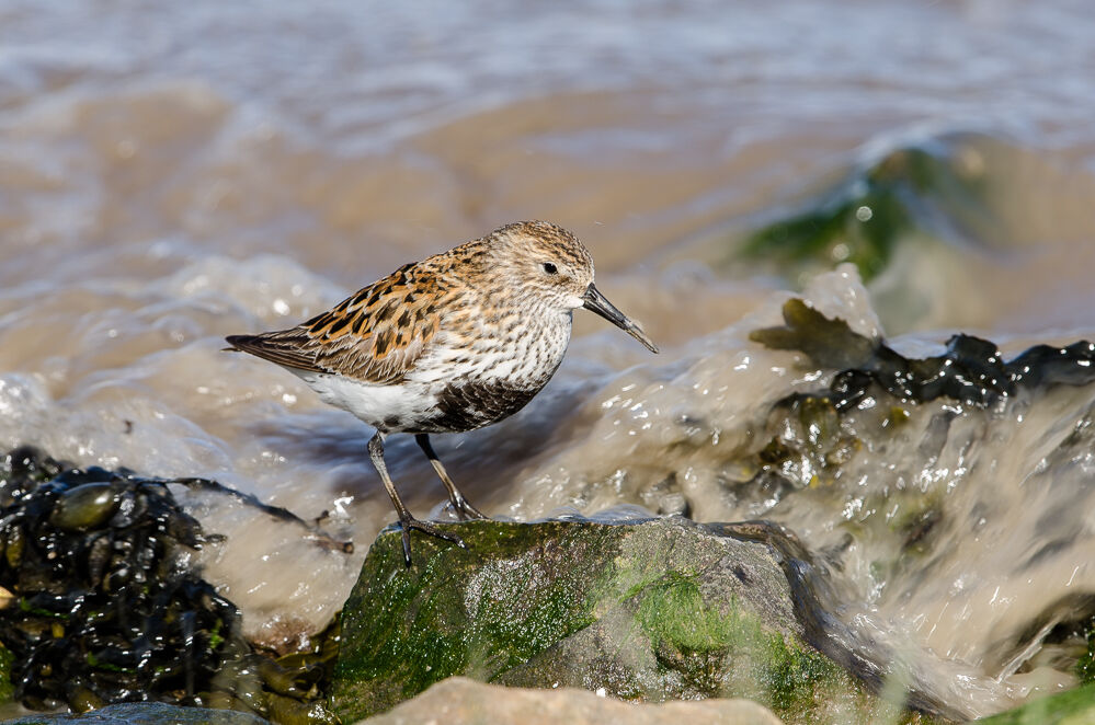 Dunlin with incoming tide.