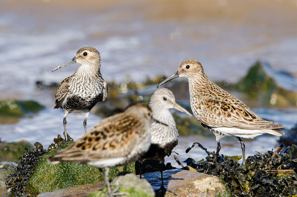 Dunlin keep an eye out.