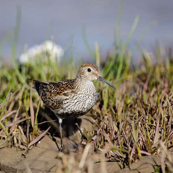 Dunlin in Breeding plumage.