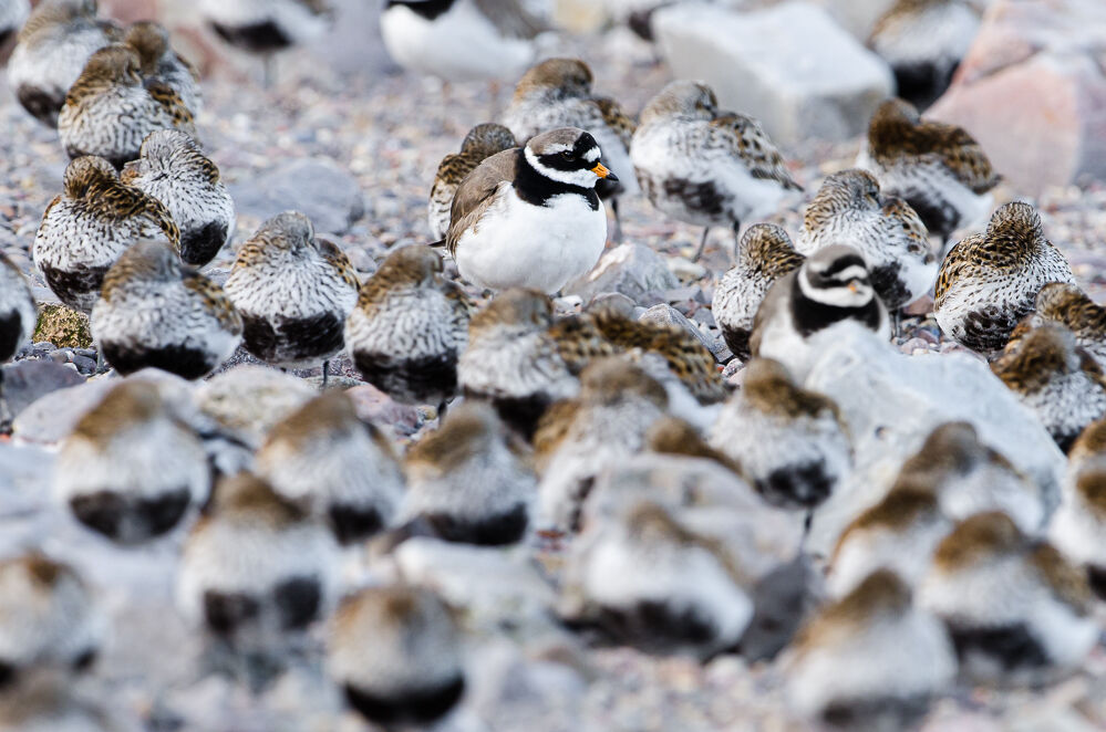 Ringed Plover with Dunlin.