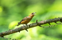Male Crossbill in threat posture.