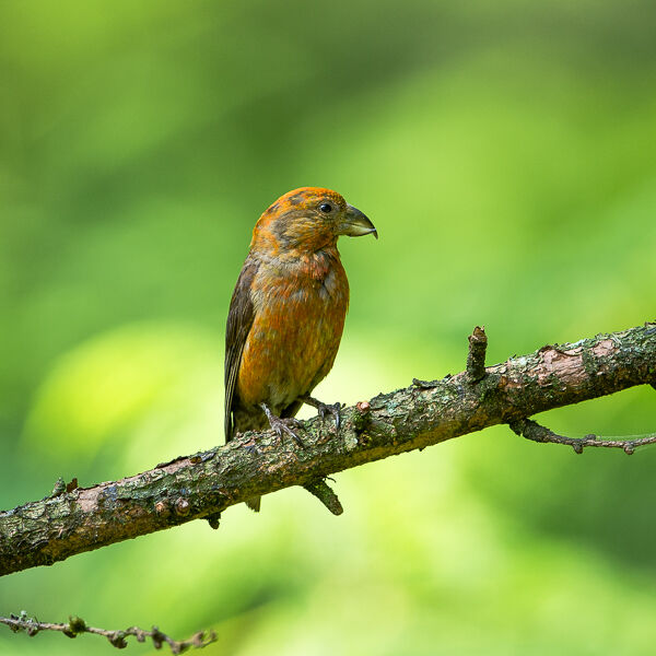 Adult male Crossbill.