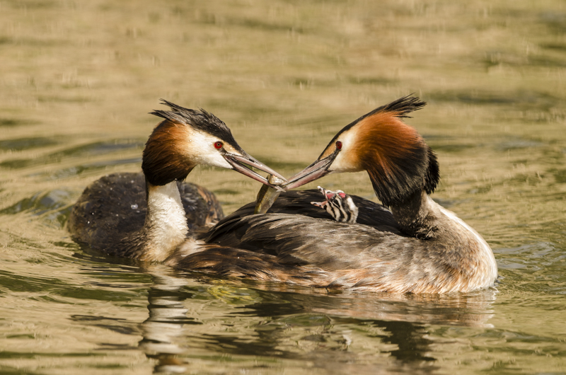 Great Crested Grebe feeding Chick