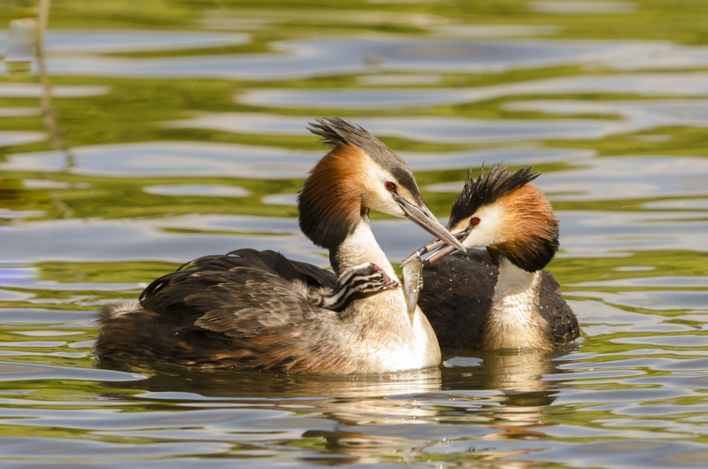 Great Crested Grebe feeding youngster.