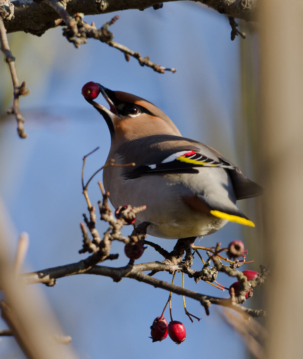 Waxwing and Berry.