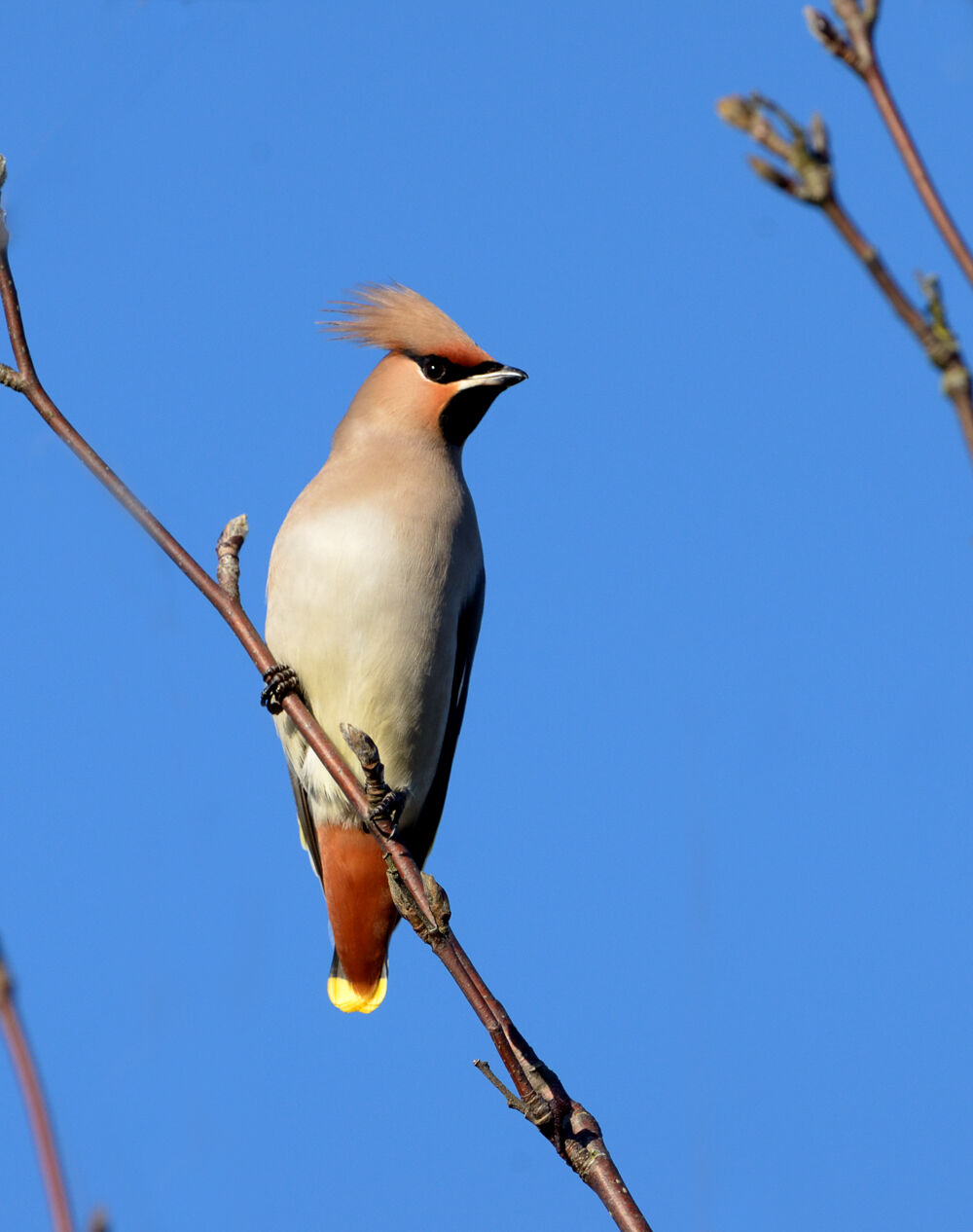 Waxwings on a fine day.