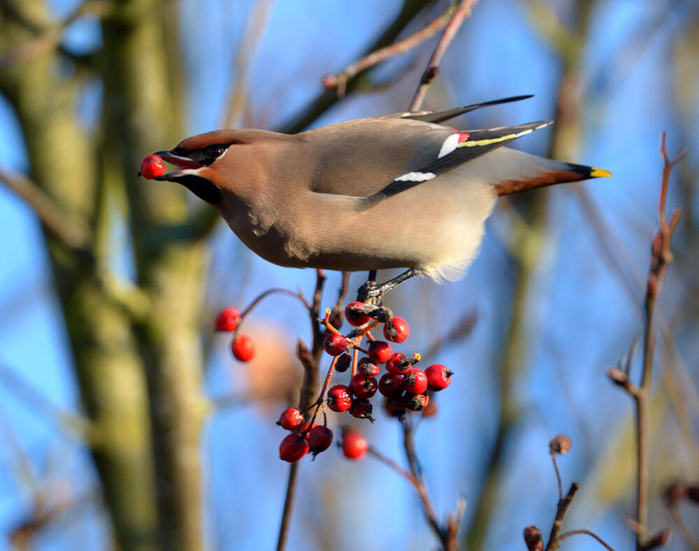Waxwing gets its fill.