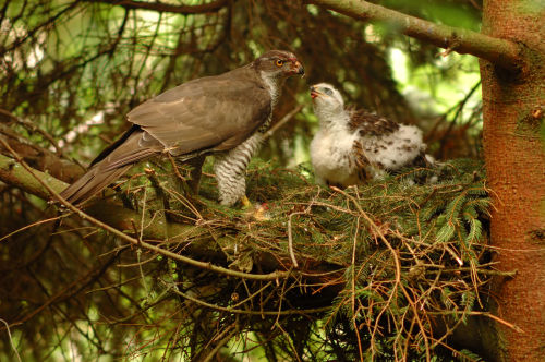 Goshawk at Nest
