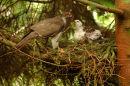 Goshawk at Nest