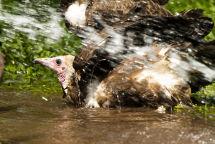 Hooded Vulture bathing