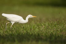 Cattle Egret hunting for insects.
