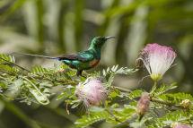 Beautiful Sunbird