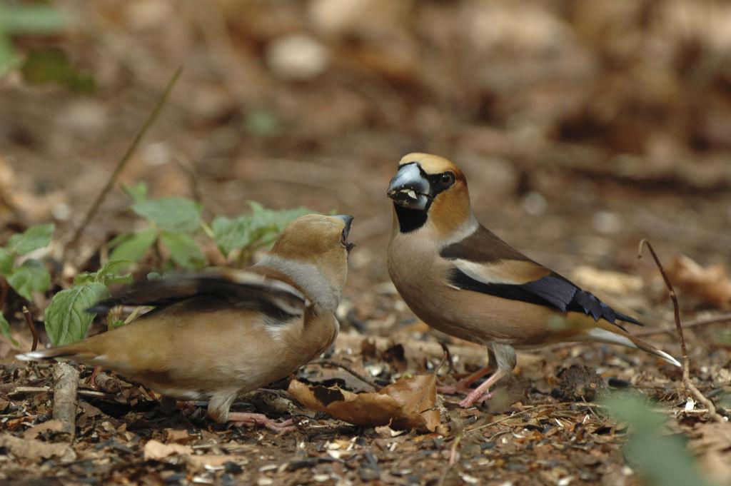 Hafinch pair.