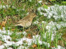 Meadow Pipit in the Garden.