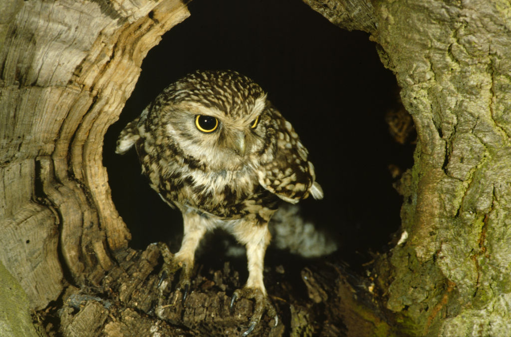 Early owl pictures.