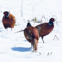 Pheasant Gang.