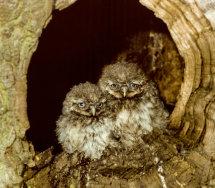 Little Owl nestlings
