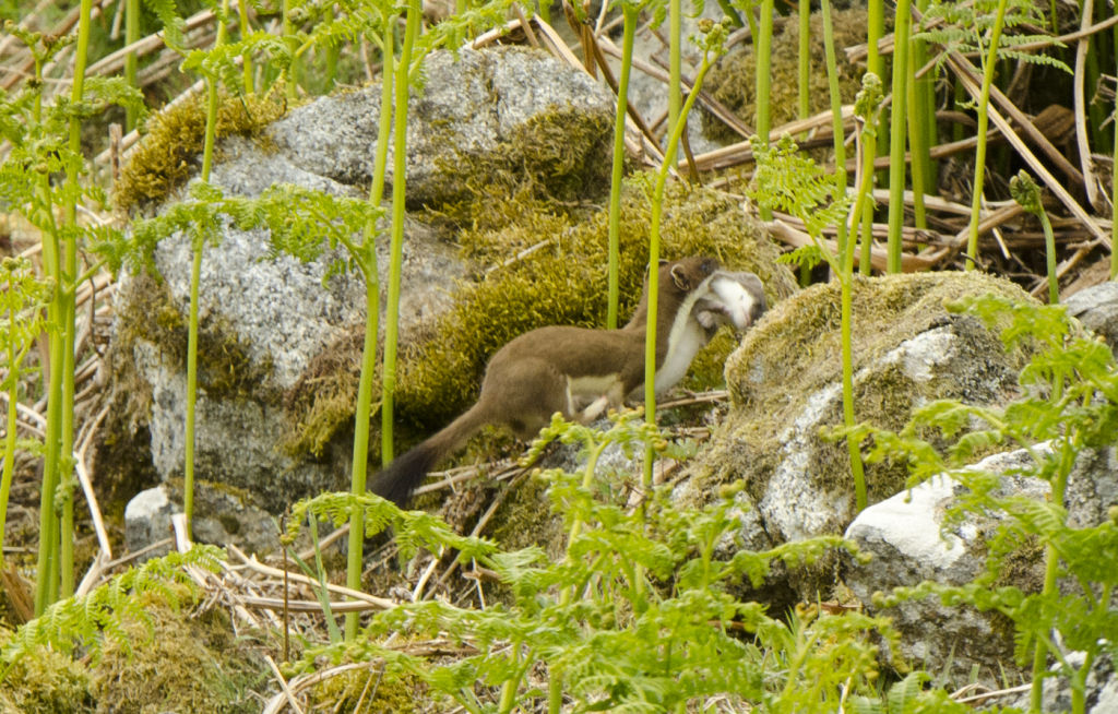 Stoat carrying young.