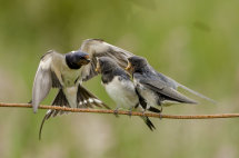 Swallow Family