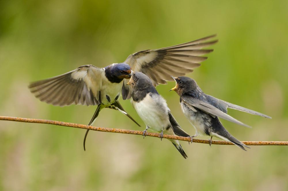 Swallow Family.