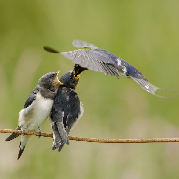 Swallows feedding young.