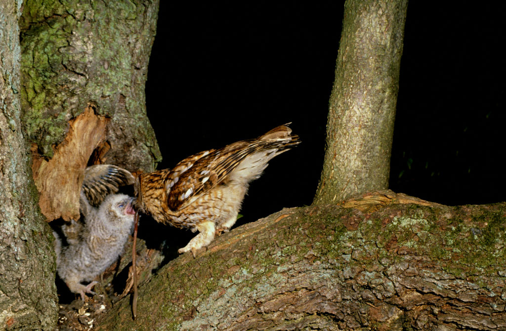 Tawny Owl feeding chick.