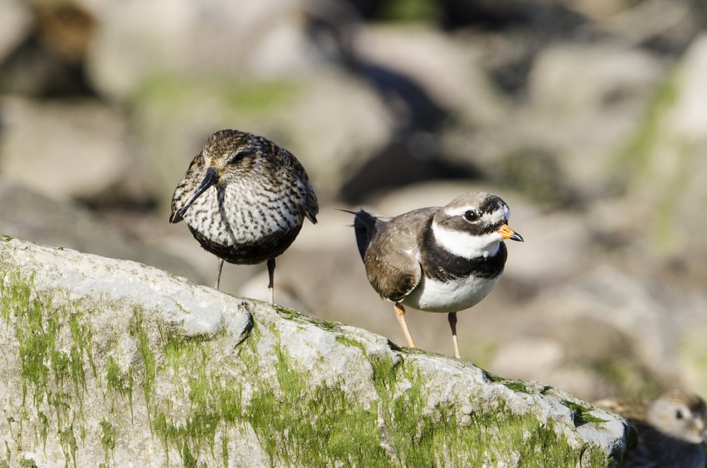 Dunlin and Ringed Plover.