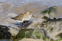 Dunlin at tides edge.