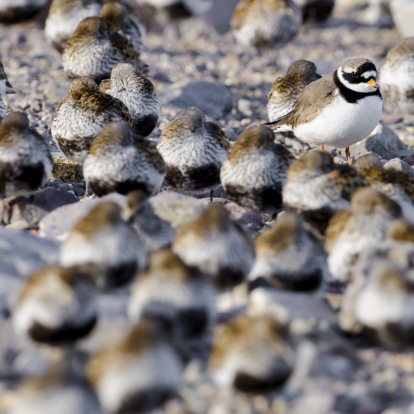 Ringed Plover and Dunlin.