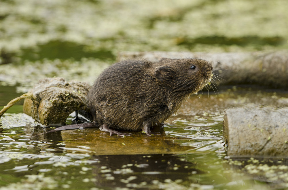Water Vole at Magor Marsh