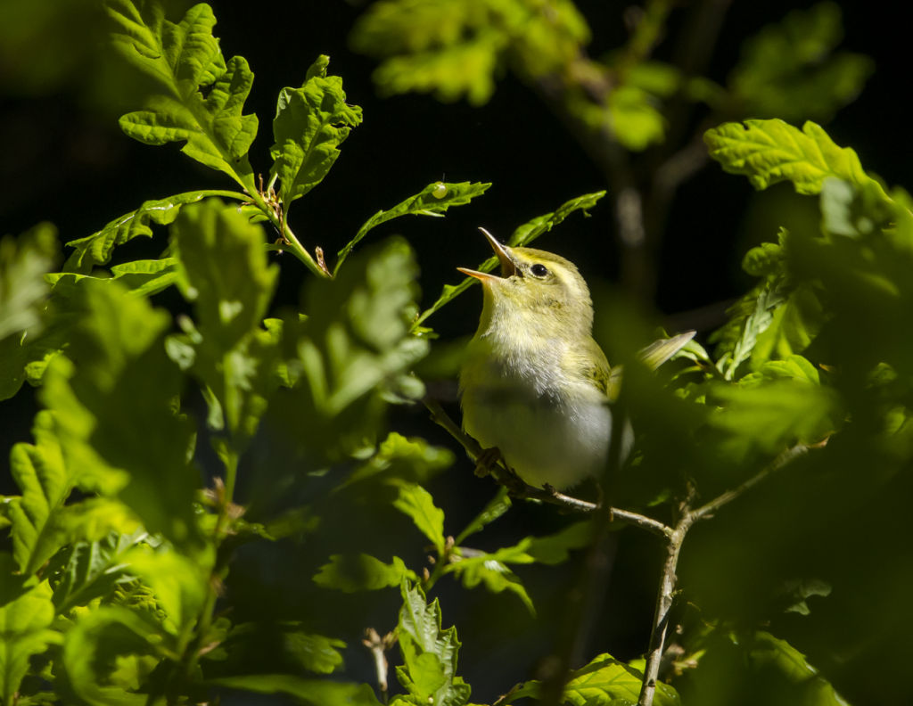 Wood Warbler Singing