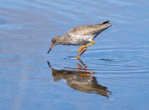Redshank at Loch Indorb
