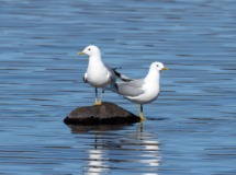 Common Gulls at the Loch.
