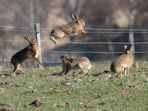 Jumping Hares.