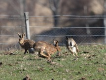 Running Hares.