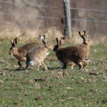 Hares.