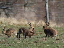 Hares in Spring.