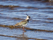 Lapwing at L. Indorb