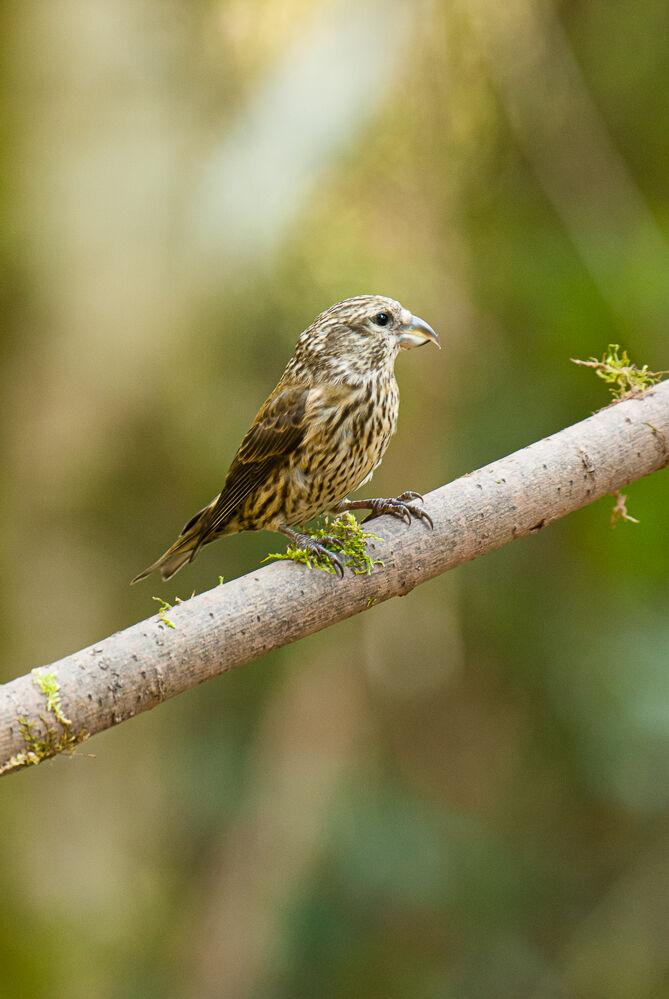 Juvenile Crossbill.
