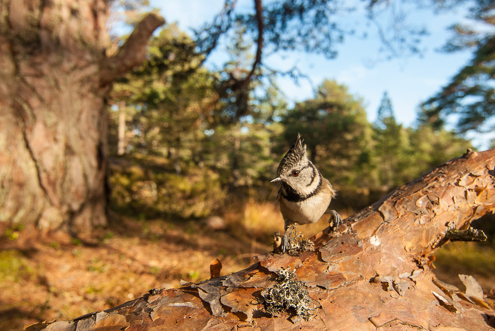 Crested Tit in Caledonian Pines.