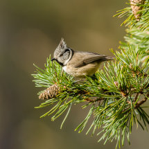 Crested Tit in Scots Pine