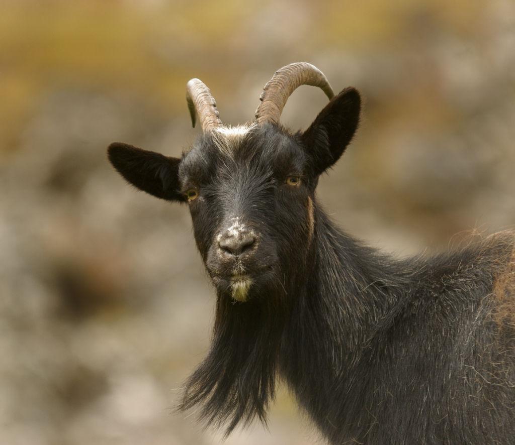 Ferral Goat