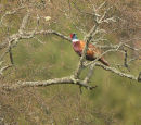 Pheasant in tree