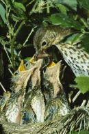 Song Thrush Nest
