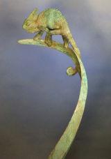 Chameleon in bronze