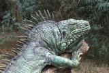 Iguana - ceramic with bronze spines