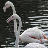 Flamingo Martin Mere Nature Reserve