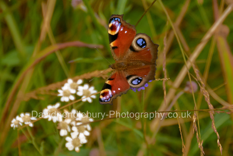 Butterfly On The Isle Of Mull